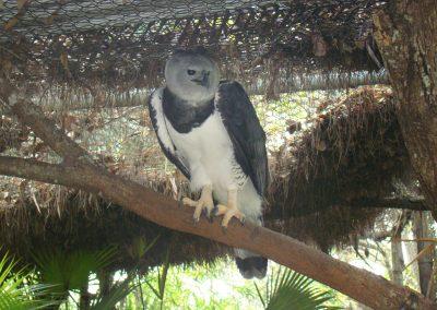 Harpi Eagle (2)