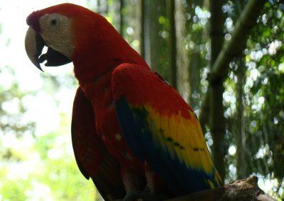 Scarlet Macaw (2)