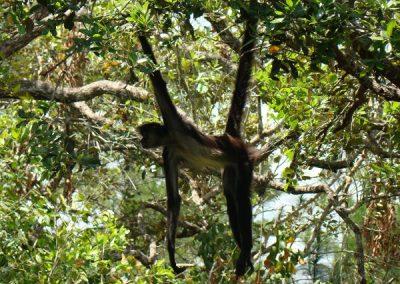Spider Monkey(4)