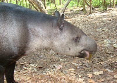 Tapir (5)