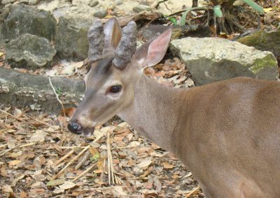 White Tail Deer (2)