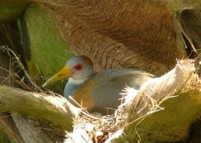 a Grey-necked Wood-rail nesting in 1 of my coconuts