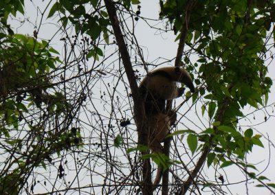 a Northern Tamandua (a mid sized anteater)