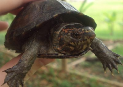 a baby mud turtle