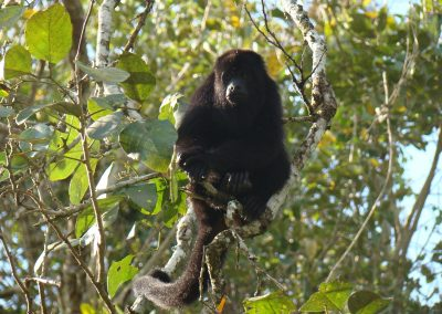 black howler monkey (2)