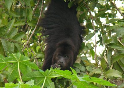 black howler monkey eating a papaya tree