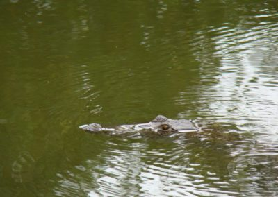 crocodile-in-our-fish-pond