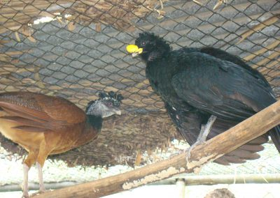 pair of Great Curassow